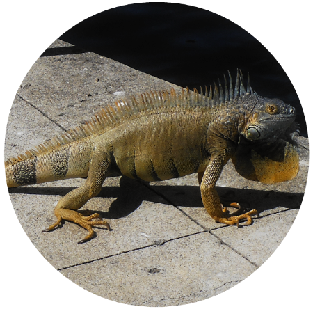 Native Wild Iguana
